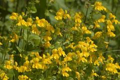 MonkeyFlower (Tony Tooth) Tags: nikon d7100 nikkor 55300mm flower wildflower yellowflower monkeyflower mimulusguttatus gardenescape whaleybridge derbyshire erythrantheguttata