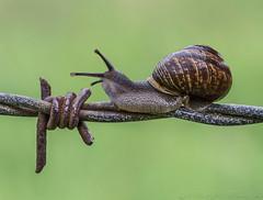 Houston, We Have a Problem (SkyeWeasel) Tags: macromondays danger macro snail animal gardensnail cornuaspersum barbedwire invertebrate mollusc gastropod