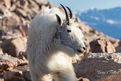 July 4, 2019 - A mountain goat takes in the high altitude scene. (Tony's Takes)
