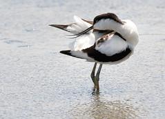 Preening Avocet (robin denton) Tags: recurvirostraavosetta titchwell rspbreserve rspb titchwellmarsh wader bird nature wildlife northnorfolkcoast norfolk