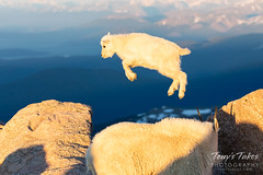 July 4, 2019 - A flying mountain goat kid. (Tony's Takes)