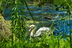 IMG_5983 (gidlark) Tags: flora plant water pond bird swan white