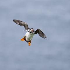 Supper time! (susie2778) Tags: olympus skomer natureslenscouk nationaltrust puffin fraterculaarctica olympusem1x olympusm300mmf40 bif flying wings nature sandeels sea