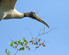 bringing in  the garden (Dianne M.) Tags: woodstork nature outside flight nesting sky vegatation rookery florida