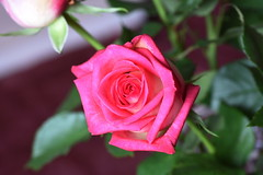 DSC_5053 (PeaTJay) Tags: nikond750 sigma reading lowerearley berkshire macro micro closeups gardens indoors nature flora fauna plants flowers bouquet rose roses rosebuds