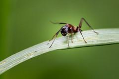 Ant (RGaenssler) Tags: ameisen arthropoda floraundfauna fluginsekten formicidae gliederfüser hautflügler hexapoda hymenoptera insecta insekten neoptera neuflügler pterygota sechsfüser tiere tracheata tracheentiere gaggenau badenwürttemberg deutschland
