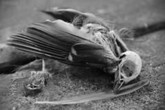 Bird skeleton (Irmzaq photography) Tags: birdskeleton skeleton skull birdskull animalskeleton bird photography blackandwhite blackandwhitephotography abandonedphotography animalskull wings birdwings