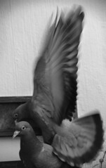 Wings (Irmzaq photography) Tags: wings photography bird birdphotography dove pigeon pigeonphotography animal animalphotography birdwings blackandwhitephotography blackandwhite