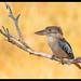 Blue Winged Kookaburra (Dacelo leachii leachii) - Fogg Dam, NT, Australia.