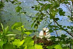 IMG_5987 (gidlark) Tags: flora plant water bird swan дендропарктростянець