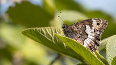 DSC_5790 (Régis Bertolotti) Tags: papillon silène nature nikon500 tampon150600g2