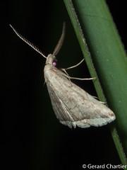 Lysimelia sp.