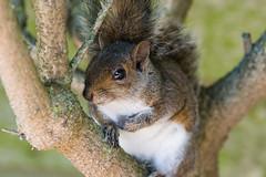 Young grey squirrel (pstani) Tags: england essex europe greatbritain sciuruscarolinensis walton waltononthenaze woodberryway animal fauna greysquirrel squirrel