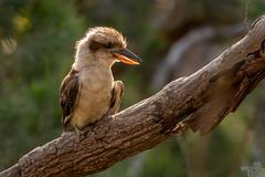 Kookaburra (djflexkid) Tags: kingfisher backlit wildlife sunset goldenhour nature australia things bird outdoor kookaburra perch places animals