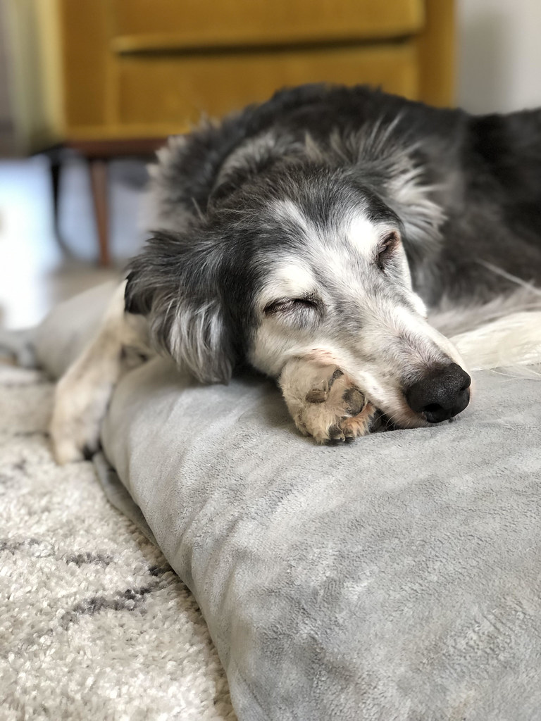 The World's newest photos of dog and saluki - Flickr Hive Mind