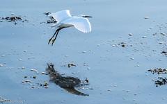 Flight and reflection (Dave M Photography (gadgetking1)) Tags: mardle nature wildlife birds bird birdlife waterbird water egret egrets sea sealife