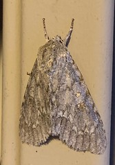 Acronicta americana - American Dagger Moth - Hodges#9200 (Stylurus) Tags: acronicta americana american dagger moth hodges9200 michigan lodi township prairie oaks