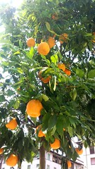 Italy Baby ORANGES (Ladyhelen_) Tags: orange oranges firenze toscana italy piazza colors shine nature fruit words verses poem poetry