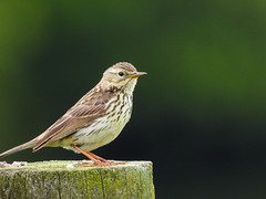 Meadow Pipit (Pendlelives) Tags: wildlife nature south pennine moors pennines sssi moorland countryside uk britain british animals lancashire england pendlelives nikon p1000 bird birds insect insects meadow pipit perched background clarity vibrant