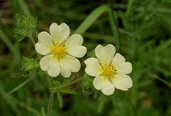 Sulpher Cinquefoil (jmunt) Tags: wildflower cinquefoil