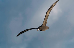 Southern Giant-Petrel (Immature) _ Macronectes giganteus (Kremlken) Tags: pelagic humboldtcurrent pacificocean seabirds birds birding birdwatching nikon500 chilean petrels macronectesgiganteus