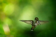 Just Another Hummer (jwfuqua-photography) Tags: wildlife nature birds pennsylvania jerrywfuqua peacevalleynaturecenter jwfuquaphotography buckscountyparks buckscounty rubythroatedhummingbird