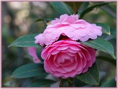 Camellia with a pretty 'hat'  👒 (boeckli) Tags: camellia flowers pink kamelie flower flora fleur rosa nature natur photoborder rahmen frame blumen blume blüten blossom bloom blossoms blooms garden garten sydney australia 001870 rx100m6 doublefantasy