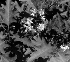 ワルナスビ (Solanum carolinense) (Dinasty_Oomae) Tags: leicaiiia leica ライカiiia ライカ 白黒写真 白黒 monochrome blackandwhite blackwhite bw outdoor 東京都 東京 tokyo 江東区 kotoku 夢の島 yumenoshima ワルナスビ 植物 plant