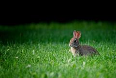 Dial it up to 11 (Dan Haug) Tags: easterncottontail rabbit kit baby backyard greely ontario grazing cute adorable wildlife welcome lawn grass xt3 xf100400mmf4556rlmoiswr xf100400mm mirrorless fujifilm fujixseries