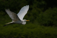 Grande Aigrette / Great egret (Sammyboy77) Tags: grandeaigrette greategret ardeaalba