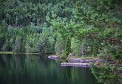 Pine forest (annazelei) Tags: summer green norway water wasser enviroment outdoor peaceful paysage north nord picea abies nature naturephotography canon eos flickr wald woods forest reflection weather mood greening july botanic leaves natural monocrom