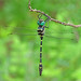 Swift river cruiser - an American gem (Macromia illinoiensis)