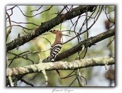Huppe fasciée (photographe 60) Tags: bird huppefasciée migration oiseaux ornithologie pascalvergnephotographeoise plumage