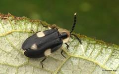 Firefly, Lampyridae (In Memoriam: Ecuador Megadiverso) Tags: andreaskay beetle coleoptera ecuador firefly lampyridae