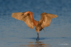 I Feel Like Dancin' (craig goettsch) Tags: bunchebeach sanibel2019 egret reddishegret bird avian wildlife nature ocean water blue nikon d500