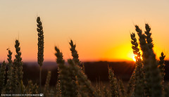 The end of a summer day. (andreasheinrich) Tags: nature grain fields summer evening sunset june warm colorful germany badenwürttemberg neckarsulm dahenfeld deutschland natur getreide felder sommer abend sonnenuntergang juni farbenfroh nikond7000