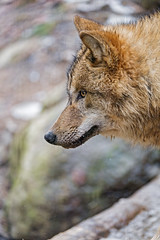 Profile of a wolf (Tambako the Jaguar) Tags: wolf mongolian canid canine dog pofile portrait face close attentive looking cold winter zürich zoo switzerland nikon d5