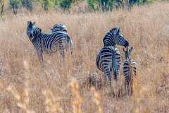 Zebras, Pilanesberg, South Africa (http://www.guidogavazzi.it/englishome.html) Tags: zebras africa south pilanesberg savanna wild nature animal life free safari travel wildlife