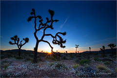 Joshua Tree Sunset (Sandra Lipproß) Tags: joshuatree nationalpark california sunset sunburst flare sunstar sky trees nature landscape usa outdoor silhouette desert desertscape mojave desertbloom spring
