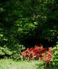Au jardin, Bosdarros, Béarn, Pyrénées Atlantiques, Aquitaine, France. (byb64) Tags: bosdarros béarn biarn bearno pyrénéesatlantiques pirinioatlantikoak pirineosatlánticos aquitaine aquitania akitania aquitanien france francia frankreich eu europe europa ue 64 2020 nouvelleaquitaine jardin garden giardino garten blumen fleur flor fiore printemps primavera spring flower blossom floraison весна сад цветок حديقةمنزلية 園林 tuin jardim have zahrada grădină trädgård גן باغ बाग 庭園