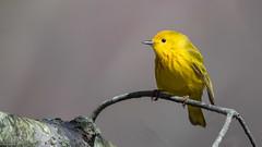 Yellow Warbler-0531 (Paul McGoveran) Tags: bird nature nikon500mmf4 nikond850 ontario peleenationalpark warbler