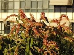 Floração do pajeú (Alexandre Marino) Tags: pajeú pauformiga flores árvores trees flowers