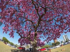 Ipês em Brasília... (Alexandre Marino) Tags: ipêroxo brasília árvores flores trees flowers ipês
