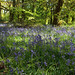 Bluebell Carpet 7256