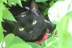 IMG_8374 (ScarletPeaches) Tags: tigresanctifie blackcat cat cats feline felines furry critters pets kitty kitties tigre pet