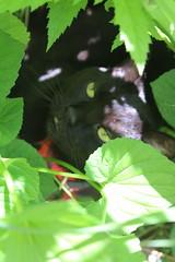 IMG_8379 (ScarletPeaches) Tags: tigresanctifie blackcat cat cats feline felines furry critters pets kitty kitties tigre pet