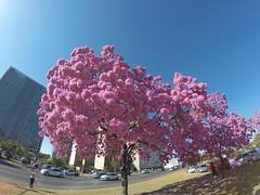 Ipês em Brasília (Alexandre Marino) Tags: ipês ipêroxo brasília árvores flores flowers trees
