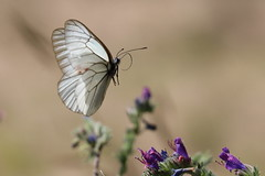 Vol papillon (blindidier1) Tags: butterfly papillon envol vol nature printemps insecte blanc fly spring