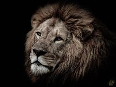 DARK MANED SIMBA (eliewolfphotography) Tags: lion lions africa tanzania ngorongoro conservation savethelions wildlife africananimals