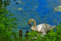IMG_5988 (gidlark) Tags: water pond flora plant bird swan дендропарктростянець